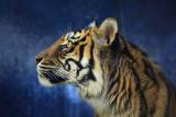 Sumatran tiger profile