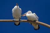 White pelicans sitting on lamp standard