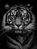 Sumatran tiger in black and white