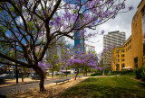 Jacaranda trees at West Circular Quay, Sydney