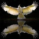 Sulphur crested cockatoo in flight  with reflection