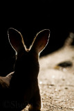 Kangaroo backlit portrait