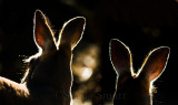 Kangaroos backlit