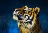 Sumatran tiger looking up