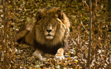 Lion amongst leaves