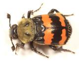 Nicrophorus tomentosus
