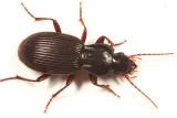 Pterostichus tristis