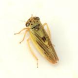 Agalliopsis ancistra