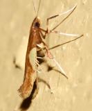 0615 -  Boxelder Leafroller Moth - Caloptilia negundella