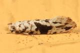 0262 - Nemapogon angulifasciella