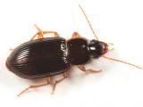 Trichotichnus autumnalis