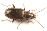 Bembidion americanum
