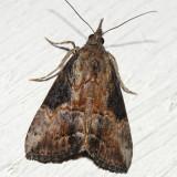 8465 -- Green Cloverworm Moth -- Plathypena scabra