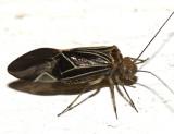 Common Barklice - Psocidae