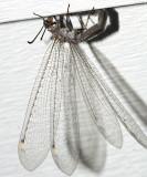 Myrmeleon immaculatus