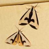 8107 - Clymene Moths - Haploa clymene