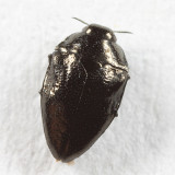 Pachyschelus laevigatus