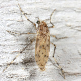 Phantom Midges - Chaoboridae