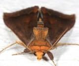 8898 - Unspotted Looper Moth - Allagrapha aerea