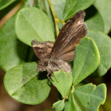 Wild Indigo Duskywing laying eggs - Erynnis baptisiae