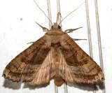 9547 - Brown Angle Shades - Phlogophora periculosa