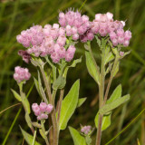 Salt-marsh Fleabane - Pluchea odorata