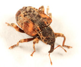 Conotrachelus anaglypticus