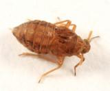 Muellerianella sp.