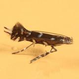 0656 - Parectopa plantaginisella?