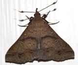 8381 - Discolored Renia Moth - Renia discoloralis