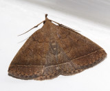 8353 - Wavy-lined Zanclognatha - Zanclognatha jacchusalis (formerly Zanclognatha ochreipennis)