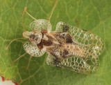 Corythucha arcuata
