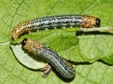 Nematus salicisodoratus