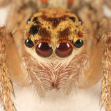 Dimorphic Jumping Spider - Maevia inclemens