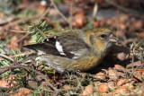 White-winged Crossbill - Loxia leucoptera (female)