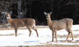 White-tailed Deer - Odocoileus virginianus