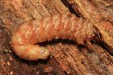 Stag Beetle larva