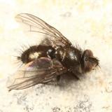 Lypha sp.