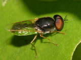 Odontomyia virgo