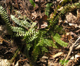 Ebony Spleenwort - Asplenium platyneuron
