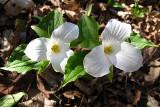 Large-flowered Trillium - Trillium grandiflorum