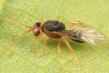 Cynipoidea