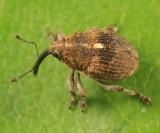 Glocianus punctiger
