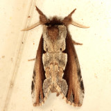 Notodontidae Moths  7895 - 8032