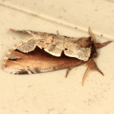 7929 - Double-toothed Prominent - Nerice bidentata
