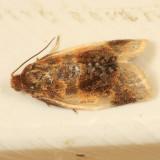 3686 - Black-patched Clepsis Moth - Clepsis melaleucana