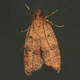 0955 - Psilocorsis quercicella