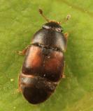 Colopterus truncatus