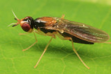 Rust Flies - Psilidae