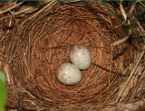 Eastern Towhee (nest with eggs) - Pipilo erythrophthalmus
